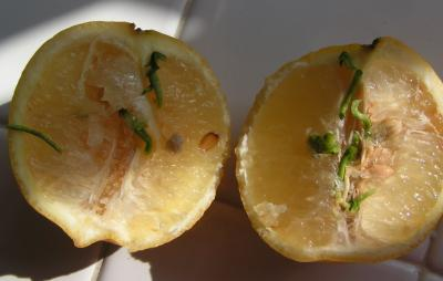 (Credit: Benjamin Saltzman) Lemon, cut in half, with roots growing from within. Very cool.