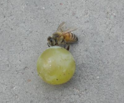 Self Taken, Bee gorging on wine grape, taken at a