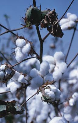 unknown, cotton field